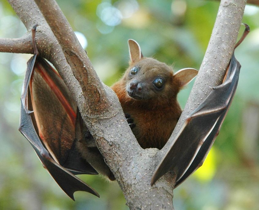Lesser Short Nosed Fruit Bat
