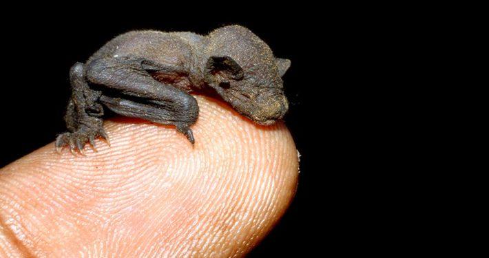 Newborn Bat